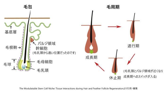 毛包と毛周期