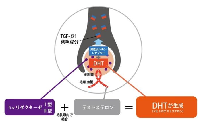 テストステロンとDHT